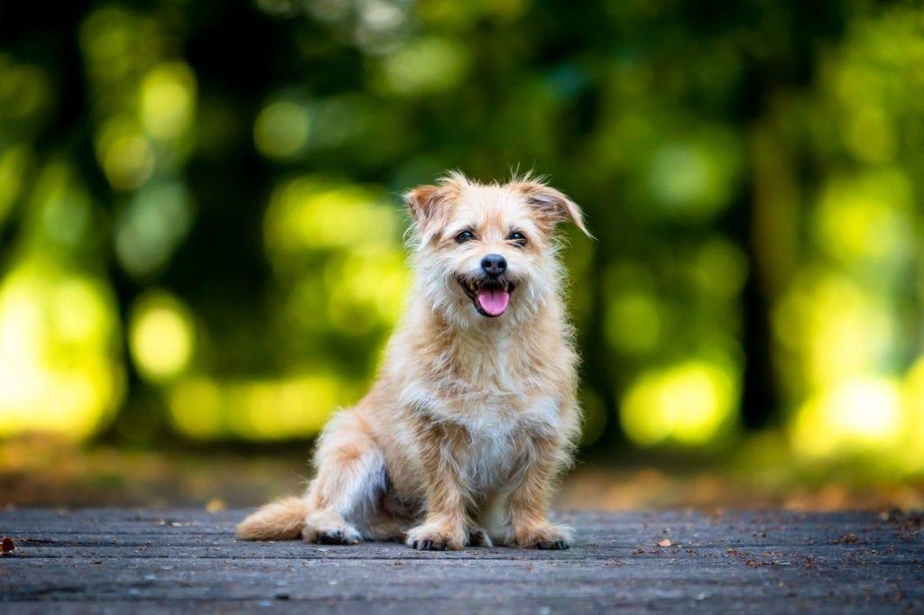 Kleiner Hund schaut in Kamera gruenem Hintergrund