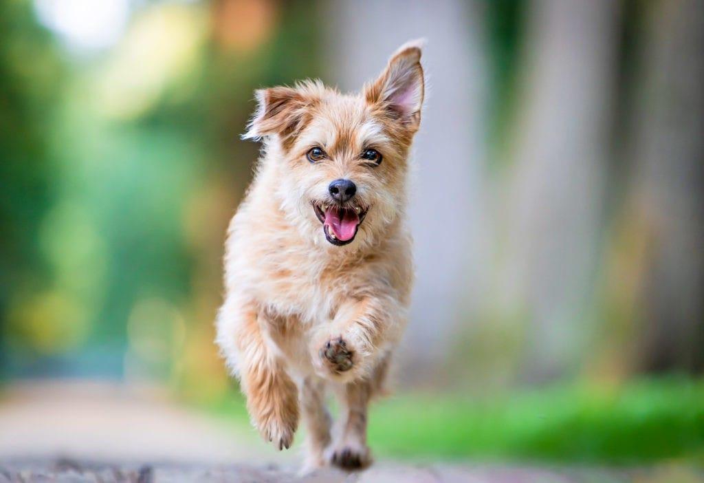 Hund rennt auf Kamera zu