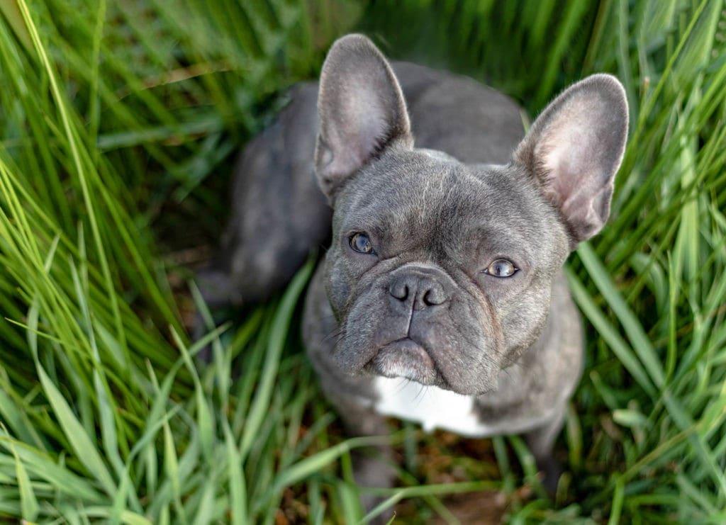 Französische Bulldogge in Gras sitzend