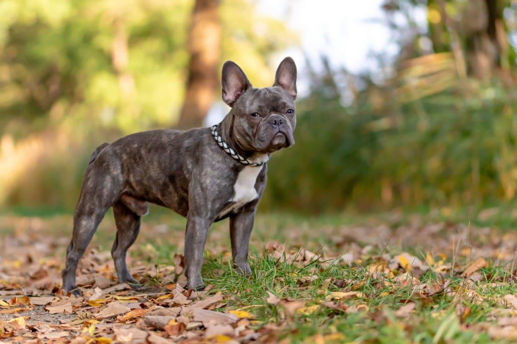 Französische Bulldogge im Herbstlaub