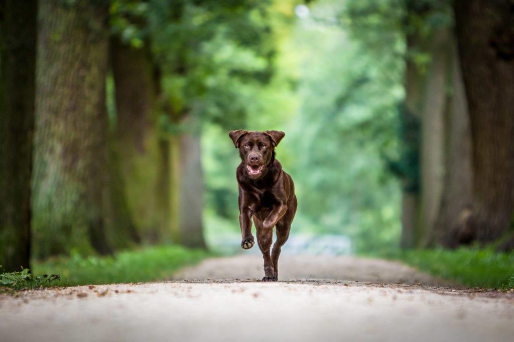 Brauner Labrador rennt auf Kamera zu