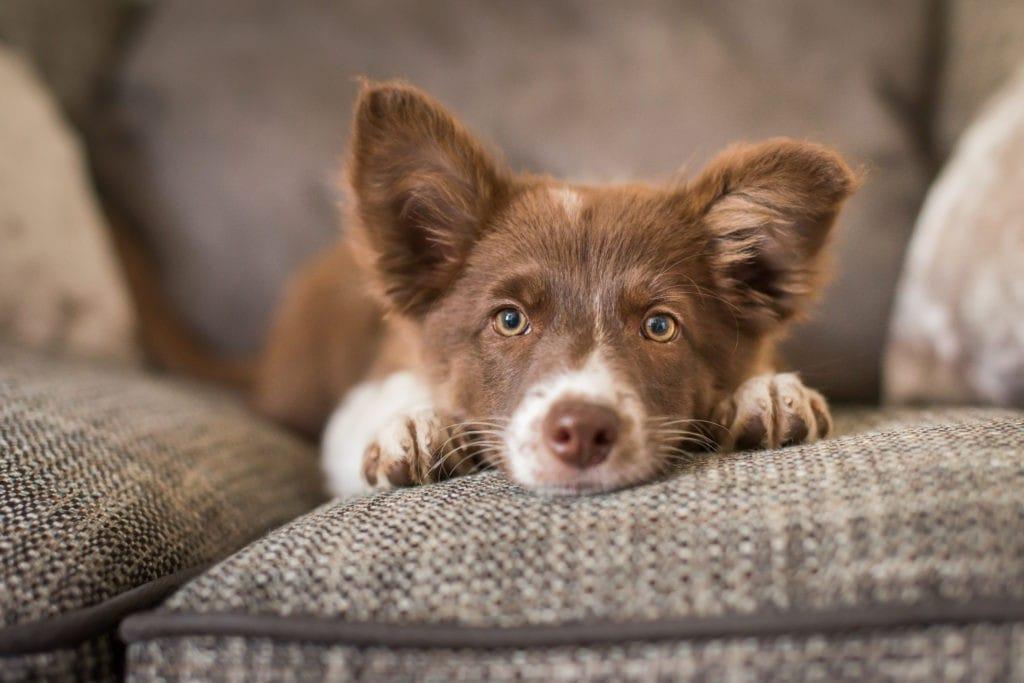 Hund auf Sofa liegend in Kamera schauend