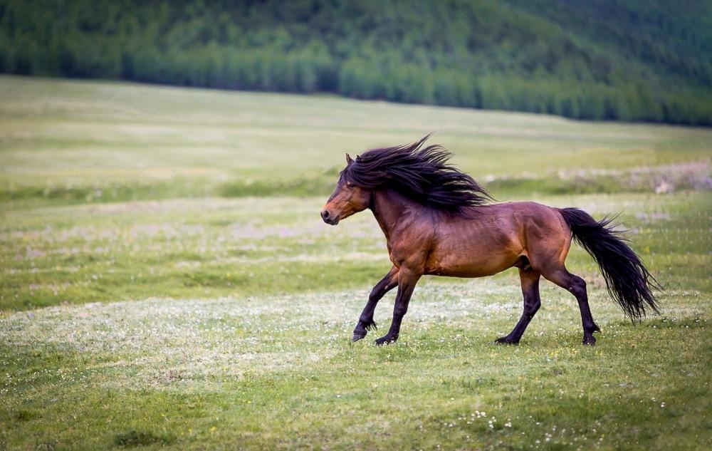 wildpferd mongolei galoppierend