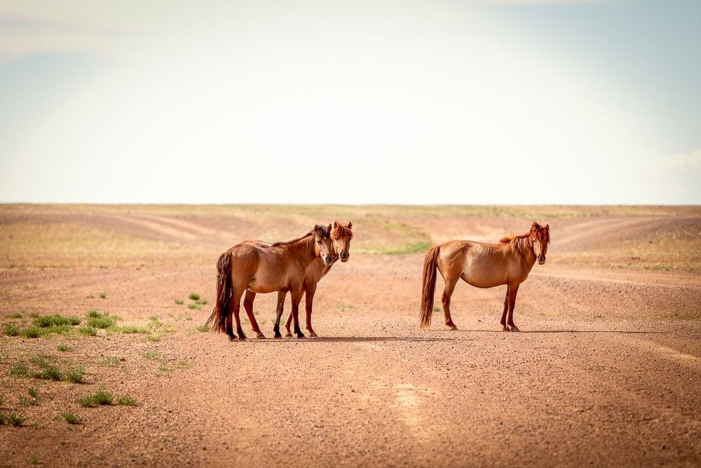 wildpferd mongolei
