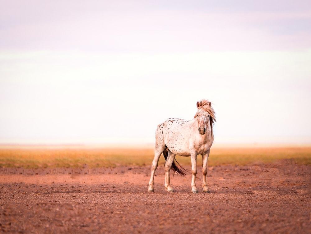 wildpferd mongolei Sonnenuntergang