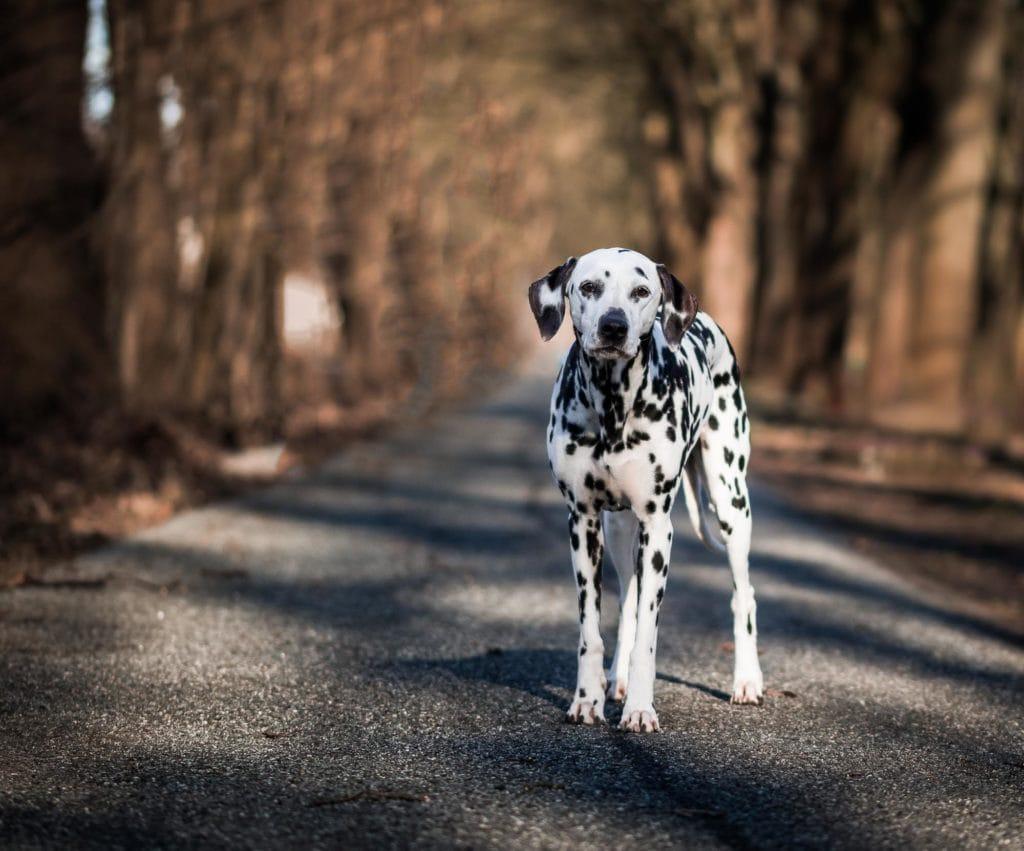 Dalmatiner in Kamera schauend
