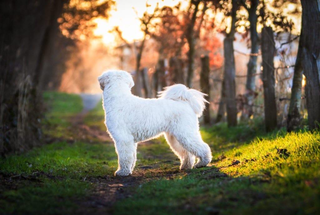 Weisser Hund im Sonnenuntergang