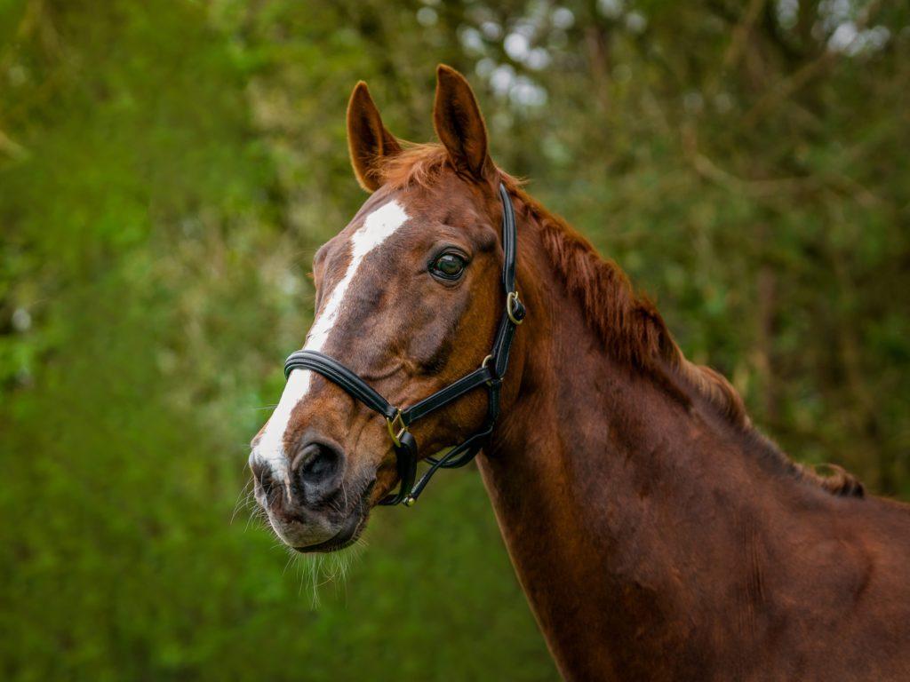 Pferdeportrait Pferdefotos Bremen